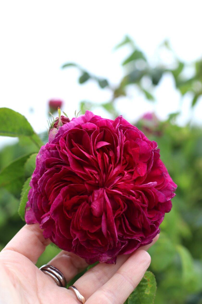 Charles de Mills rose. Bagvrk.dk.