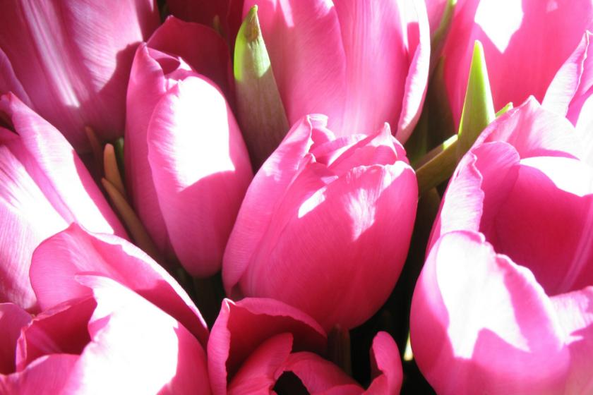 Mors dag pink tulipaner Bagvrk.dk